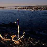 Northwest Territories, known as Nunuvat, Canada. Weathered caribou antlers in evening light. Wager Bay.