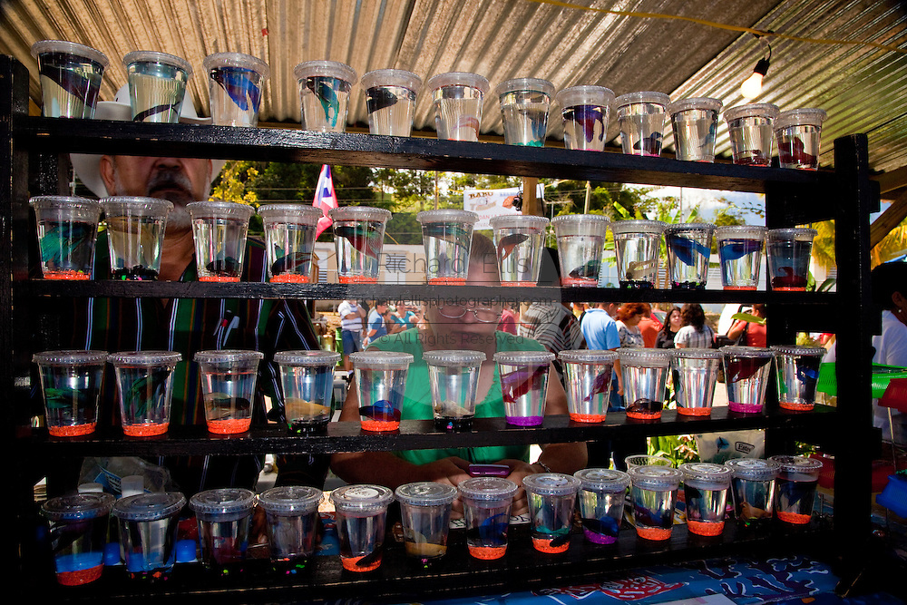 Fighting Fish are displayed at the Maricao Coffee Festival in Puerto Rico.