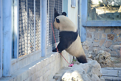 March 31, 2019 - Beijing, Beijing, China - Beijing, CHINA-The adorable giant panda can be seen at Beijing Zoo in Beijing, China. (Credit Image: © SIPA Asia via ZUMA Wire)