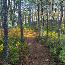 A trail in the pine barren next to Great South Pond in Plymouth, Massachusetts. The Wildlands Trust's Cortelli Preserve.