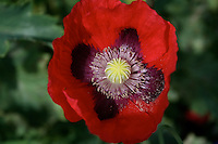 Close up of red poppy flower in Irish garden