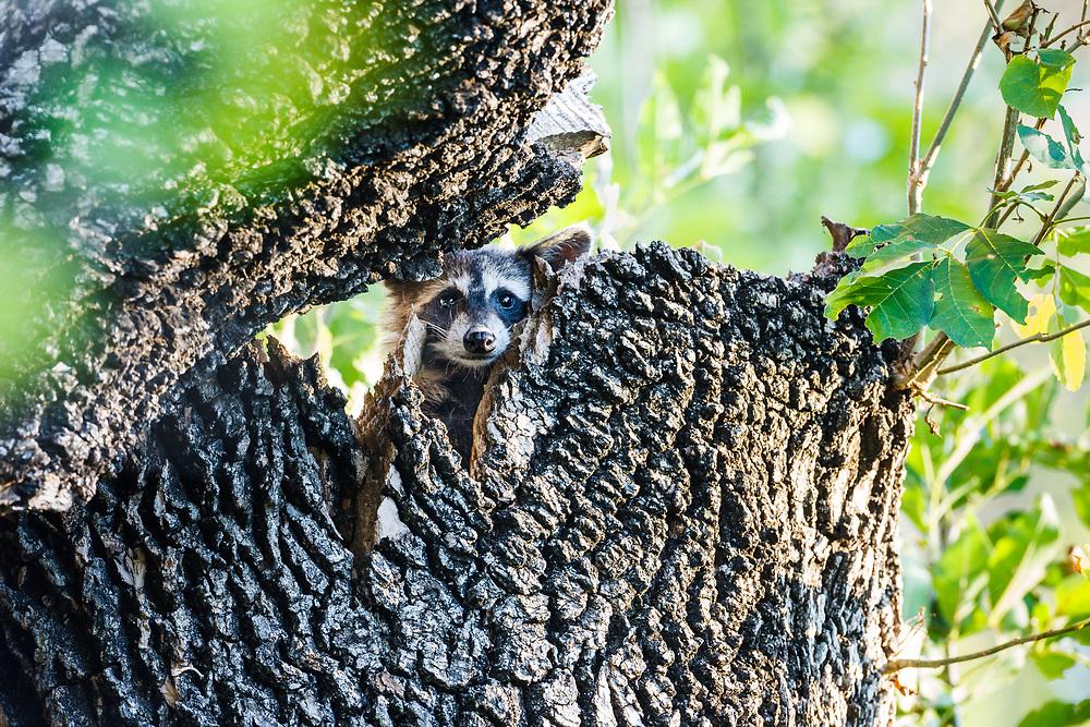Young raccoon in tree, Trinity River Audubon Center, Dallas, Texas, USA.
