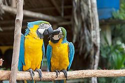 Two Gold and Blue Macaws (Ara ararauna) mating with love kiss, Orinoco Delta, Venezuela