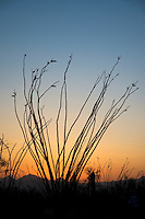 Ocotillo, Fouquieria splendens, after sunset. Saguaro National Park, Arizona