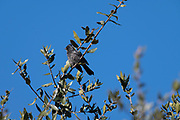 Photograph of a juvenile male Painopepla (Phainopepla nitens) chirping and getting his black feathers