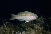 sand bass or sand perch, <br /> Diplectrum formosum, <br /> Key West, Florida Keys ( Western Atlantic Ocean )