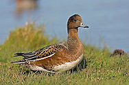 Wigeon - Mareca penelope. L 45-47cm. Males are colourful and attractive. Forms large flocks outside breeding season. Sexes are dissimilar. Adult male has mainly orange-red head with yellow forehead. Breast is pinkish; rest of plumage is mainly finely marked grey except for white belly and black and white stern. In flight, has white patch on wing. Bill is pale grey and dark-tipped. In eclipse, resembles an adult female although white wing patch is still evident. Adult female is mainly reddish brown, darkest on head and back. Note, however, the white belly and stern. In flight, lacks male's white wing patch. Bill is grey and dark-tipped. Juvenile resembles adult female. Voice Male utters evocative wheeeoo whistle.