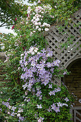 Clematis viticella 'Emilia Plater' and Rosa 'Blush Noisette' growing over an arbour
