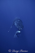 humpback whales, Megaptera novaeangliae, calf rests under mother's chin, Maui, Hawaii  caption must include notice that photo was taken under  NMFS research permit #633