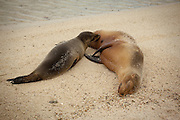 A nursing california sea lion (Zalophus californianus) on the beach of Genovesa Island, Galapagos Archipelago - Ecuador.