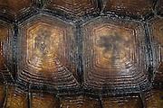 Gopher Tortoise (Gopherus polyphemus) shell detail<br /> The Orianne Indigo Snake Preserve<br /> Telfair County. Georgia<br /> USA<br /> Threatened species in Georgia<br /> HABITAT & RANGE: Longleaf pine & oak forests & sandhills & areas of good ground cover. Southeast USA