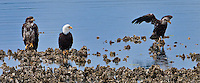 An Bald Eagle tests its wings while its parent and sibling watch while sitting on an oyster bed at the shore of Hood Canal at the mouth of Big Beef Creek on the Kitsap Peninsula in Puget Sound, Washington state, USA.