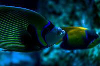 Emperor angelfish - Poisson-ange empereur (Pomacanthus imperator)