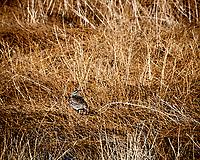 Western Meadowlark. Alamosa National Wildlife Refuge, Colorado. Image taken with a Nikon D300  camera and 80-400 mm VR lens