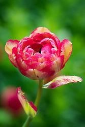 Tulipa 'Sundowner'