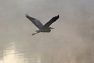 Hamptonburgh, N.Y. - A heron flies into the early morning mist over a pond at Thomas Bull Memorial Park in Hamptonburgh on Oct. 17, 2006. ©Tom Bushey