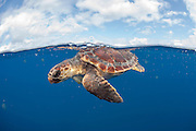 A Loggerhead Sea Turtle Juvenile, Caretta caretta, drifts in the open ocean offshore Pico Island, Azores, Portugal, North Atlantic Ocean. Image available as a premium quality aluminum print ready to hang.