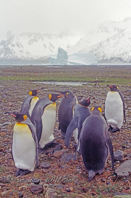 SOUTH GEORGIA ISLAND.  King penguins (Aptenodytes patagonicus) at Gold Harbor.
