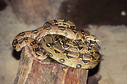 The reticulated python (Malayopython reticulatus) is a python species native to South and Southeast Asia. It is the world's longest snake, and listed as least concern on the IUCN Red List because of its wide distribution. In several countries in its range, it is hunted for its skin, for use in traditional medicine, and for sale as a pet. It is an excellent swimmer, has been reported far out at sea, and has colonized many small islands within its range. It is among the three heaviest snakes. Like all pythons, it is a non-venomous constrictor. Adult humans have been killed (and in at least two reported cases, eaten) by reticulated pythons.