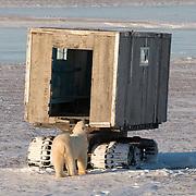 Polar Bear (Ursus maritimus) bears resting in front of the old Muktuk at Cape Churchill, Manitoba