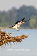 00783-01908 Osprey (Pandion haliaetus) landing at nest Rend Lake Jefferson Co. IL