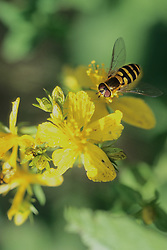 American Hover Fly