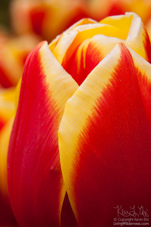 A cultivated tulip named Residence blooms in one of the gardens at Roozengaarde, one of the major tulip growers in the Skagit Valley of Washington state. Each year, more than a million people visit the area near Mount Vernon to check out 300 acres of cultivated tulips.