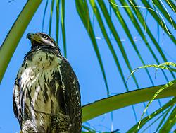 Central America, Costa Rica, Golfo Dulce, Great Black Hawk in palm tree