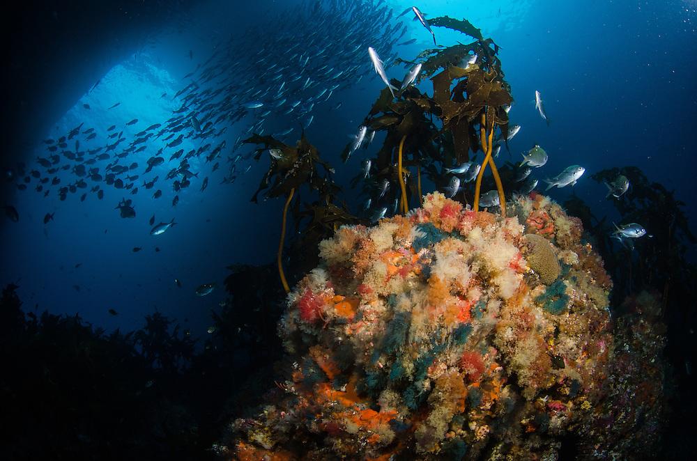 Poor Knights Reef, Blue maomao, Scorpis violacea