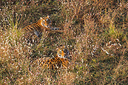 A pair of wild Bengal tiger in a field of wild flowers, Ranthambore National Park, Rajasthan, India