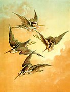 flock of Herons in flight from 'Birds on the wing' by Giacomelli [Hector Giacomelli (April 1, 1822 in Paris – December 1, 1904 in Menton), was a French watercolorist, engraver and illustrator, best known for his paintings of birds.] Published in London by Thomas Nelson & Sons 1878. The book contains Hand-colored plates with accompanying text in verse