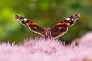 Front view of a red admiral butterfly on Sedum at Hestercombe Gardens, Somerset, England.