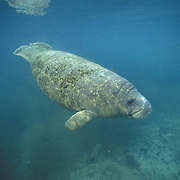 West Indian Manatee, (Trichechus manatus) Sub adult in freshwater spring. Florida.