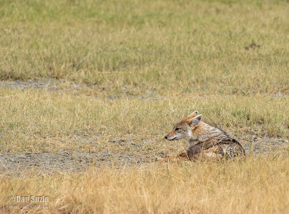 East African Jackal (Black-backed Jackal), Canis mesomelas schmidti, in Ngorongoro Crater, Ngorongoro Conservation Area, Tanzania