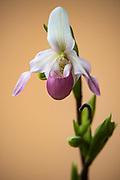Slipper Orchid (Cypripedium sp.)<br /> East Madagascar<br /> Mantadia National Park<br /> MADAGASCAR