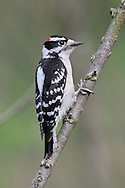 Portrait Of A Bird, The Downy Woodpecker, Perched And Looking Out, Pictured Against A Green Background, Picoides pubescens