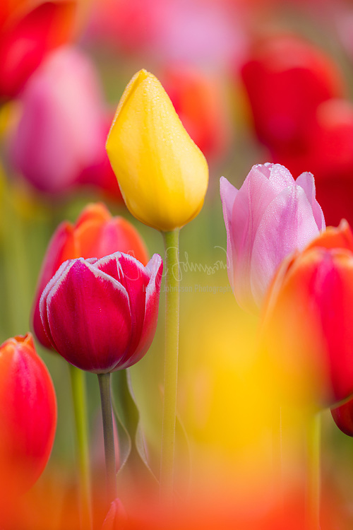 Tulips in Skagit Valley during the annual Tulip Festival