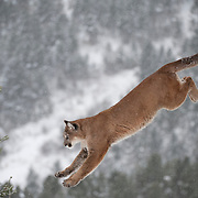 Mountain lion jumps from a dead tree in the Bridger Mountains in Montana. Captive Animal