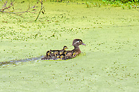 A protective mother wood duck hen speeds across a duckweed-covered pond with her chicks hot on her tail by Soos Creek in Kent, Washington on a hot summer day.