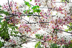 Cassia Bakeriana Pink Shower Wishing Tree#10