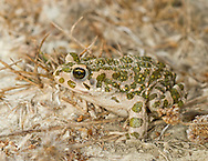 The Green Toad - Bufo viridis. A common nocturnal hunter in a range of habitats around the Mediterranean.