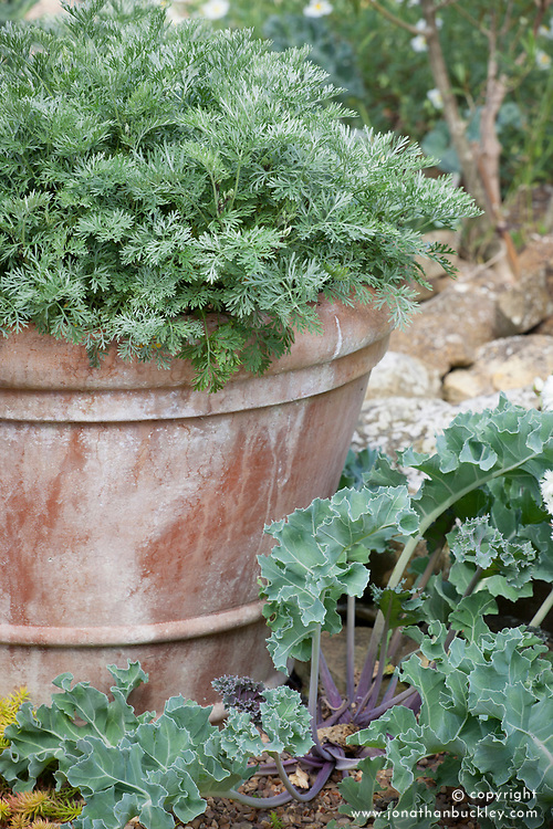 Artemisia arborescens in a terracotta pot with Crambe maritima (Sea Kale) growing at its base
