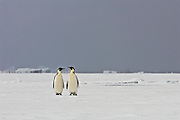 Two Emperor Penguin on the sea ice check each other out with ice bergs in the background.