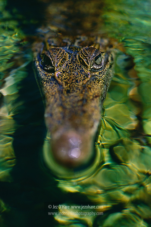 Crocodile in a tributary of the Van Daalen river, Rouffaer Reserves, Papua, Indonesia.