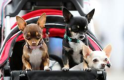 18.06.2011, Messehalle, Erfurt, GER, 4. Nationale und 9. Internationale Rassehunde Ausstellung, im Bild Kurzhaar-Chihuahuas im Wagen. EXPA Pictures © 2011, PhotoCredit: EXPA/ nph/ Hessland  ****** out of GER / SWE / CRO  / BEL ******