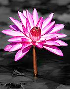 Memphis Botanical Garden Lotus Pond