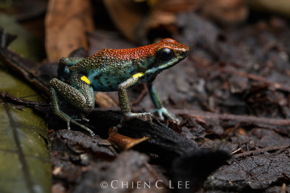 Ecuador Poison Frog (Ameerega bilinguis), male. Orellana, Ecuador.