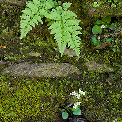 Ferns and flowers grow on a cliff in Tariffville Gorge in Tariffville, Connecticut.  Farmington River.