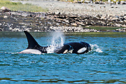 A pod of wild transient Orcas feed in the Wrangell Narrows off Frederick Sound in Petersburg Island, Alaska. Orcas also known as Killer Whales are the largest members of the dolphin family and frequent the rich waters of the Frederick Sound during summer months.