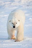 01874-12002 Polar Bear (Ursus maritimus) in winter, Churchill Wildlife Management Area, Churchill, MB Canada